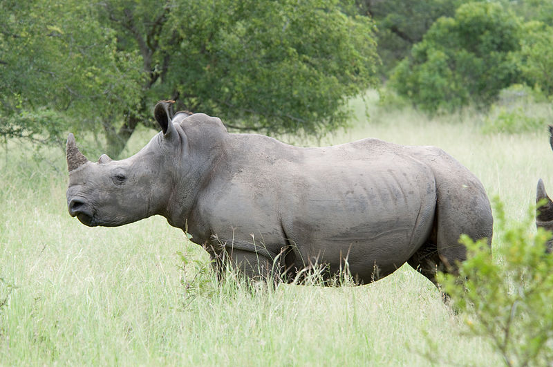 http://www.norvica.ru/files/uploaded/White_Rhino.jpg